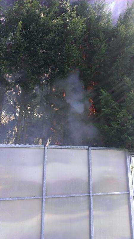Baumbrand  mehrere große Thuja Bäume in Flammen